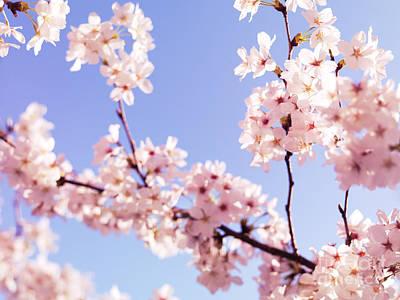 Sakura Photograph - Cherry Blossom Closeup by Oleksiy Maksymenko