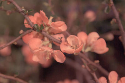 Photograph - Cherry Blossom by Erin Kohlenberg