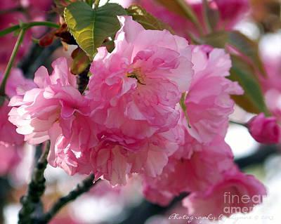 Photograph - Cherry Blossom by Gena Weiser