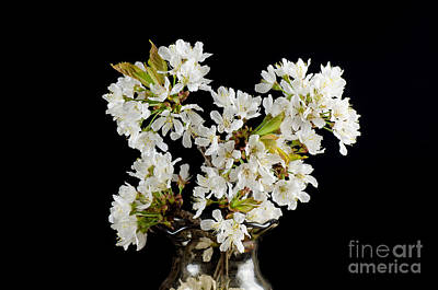 Photograph - Cherry Blossom In A Vase by Kennerth and Birgitta Kullman