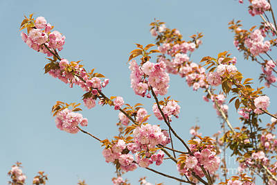 Photograph - Cherry Blossom by Jacek Malipan