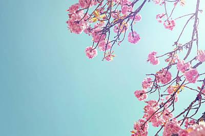 Photograph - Cherry Blossom by James O'neil