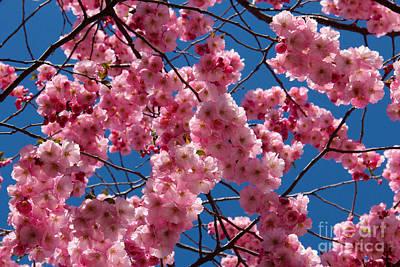 Cherry Blossom Photograph - Cherry Blossom  by Kerstin Ivarsson