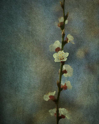 Photograph - Cherry Blossom by Linde Townsend