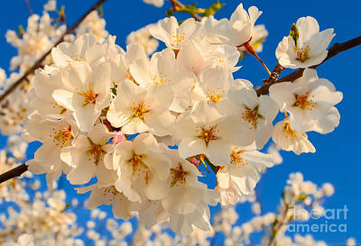Photograph - Cherry Blossom Macro by Jeff at JSJ Photography