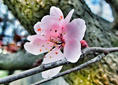 Wall Deco Photograph - Cherry Blossom  by Marianna Mills