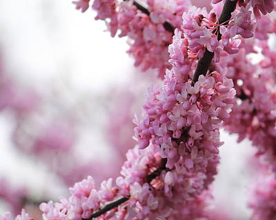Photograph - Cherry Blossom  by Angela Murdock