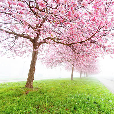 Cherry Blossom On Trees Art Print by Wladimir Bulgar