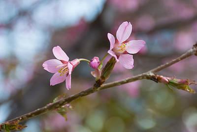 Cherry Blossom Against Green Background Art Print by Priyanka Ravi
