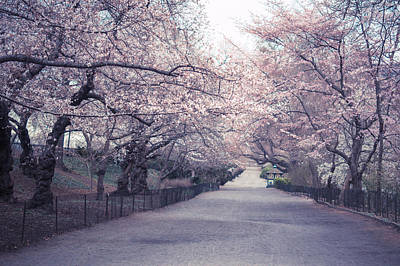 Cherry Blossoms Photograph - Cherry Blossom Path - Central Park Springtime by Vivienne Gucwa