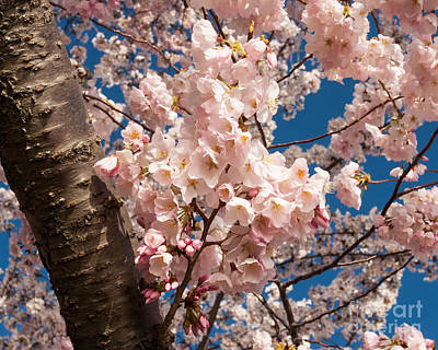 Photograph - Cherry Blossom Pink by Dale Nelson