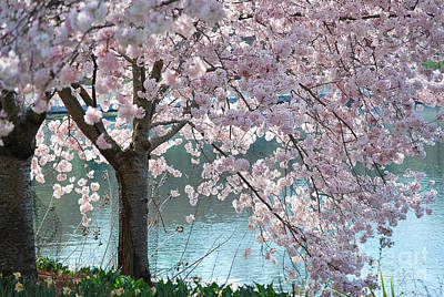 Cherry Blossom Print by Robin Hassler