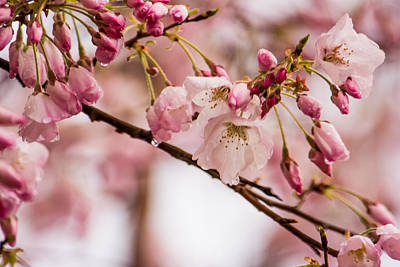 Cherry Blossoms Photograph - Cherry Blossom Special by Jon Woodhams
