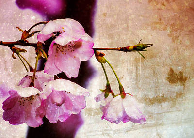Cherry Blossom Spring Print by Jon Woodhams