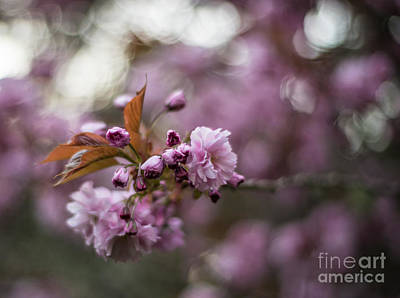 Rhododendron Photograph - Cherry Blossom Storm by Mike Reid