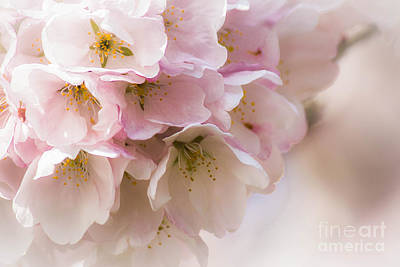 Photograph - Cherry Blossom Time by Patricia Babbitt