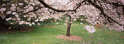 Golden Gate Park Photograph - Cherry Blossom Tree In A Park, Golden by Panoramic Images