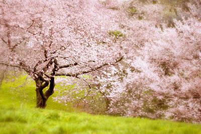 Photograph - Cherry Blossom Tree  by Jessica Jenney