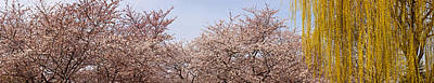Cherry Blossoms Photograph - Cherry Blossom Trees And Willow Tree by Panoramic Images