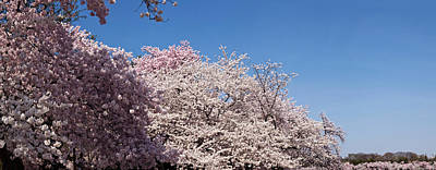 Cherry Blossoms Photograph - Cherry Blossom Trees In Bloom by Panoramic Images