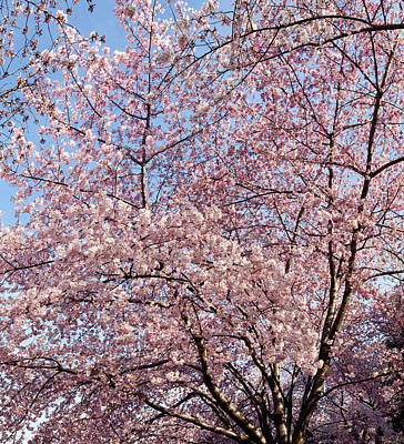 Cherry Blossoms Photograph - Cherry Blossom Trees In Full Bloom by Panoramic Images