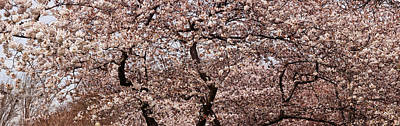 Cherry Blossoms Photograph - Cherry Blossom Trees In Potomac Park by Panoramic Images