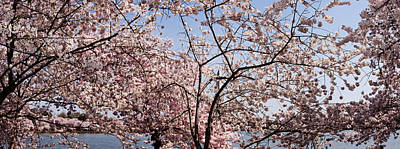 Cherry Blossoms Photograph - Cherry Blossom Trees by Panoramic Images