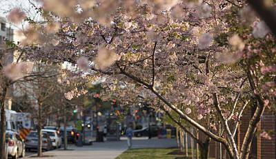Photograph - Cherry Blossom Walk by Lisa Missenda