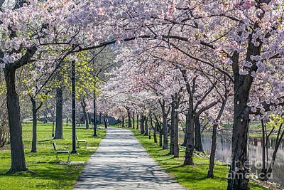 Photograph - Cherry Blossom Walk by Susan Cole Kelly
