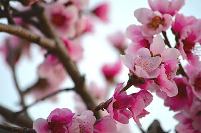 Photograph - Cherry Blossoms 1 by Deprise Brescia