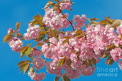 Cherry Blossoms 2 Art Print by Sharon Talson