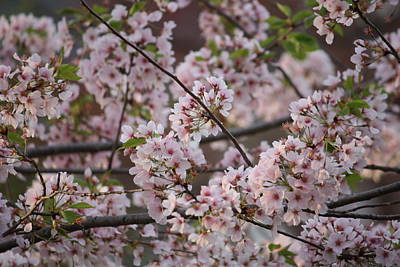 Spring Photograph - Cherry Blossoms 2010 by Jason Huffman