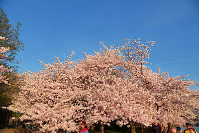 Blossoms Photograph - Cherry Blossoms 2013 - 011 by Metro DC Photography