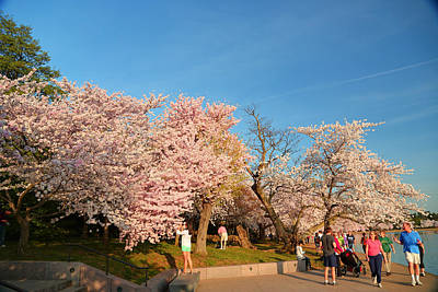 Cherry Blossoms 2013 - 015 Print by Metro DC Photography