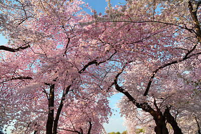 Cherry Blossoms Photograph - Cherry Blossoms 2013 - 025 by Metro DC Photography