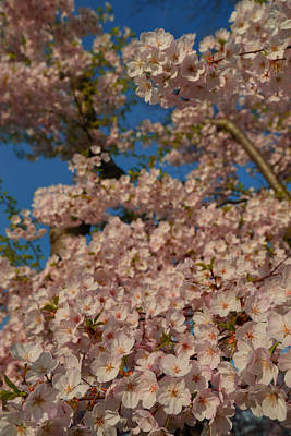 Metro Photograph - Cherry Blossoms 2013 - 034 by Metro DC Photography