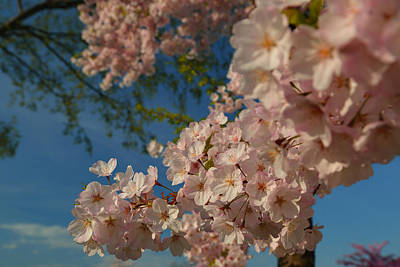 Photograph - Cherry Blossoms 2013 - 035 by Metro DC Photography