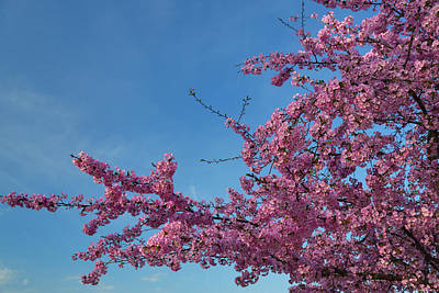 Photograph - Cherry Blossoms 2013 - 037 by Metro DC Photography