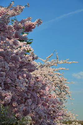 Memorial Photograph - Cherry Blossoms 2013 - 046 by Metro DC Photography
