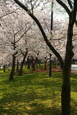 Memorial Photograph - Cherry Blossoms 2013 - 057 by Metro DC Photography