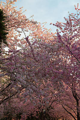 Cherry Blossoms 2013 - 065 Art Print by Metro DC Photography