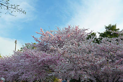 Cherry Blossoms 2013 - 070 Art Print by Metro DC Photography