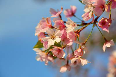 Cherry Blossoms 2013 - 074 Art Print