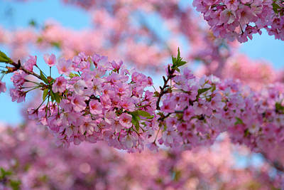 Photograph - Cherry Blossoms 2013 - 095 by Metro DC Photography