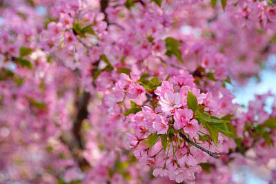Photograph - Cherry Blossoms 2013 - 096 by Metro DC Photography