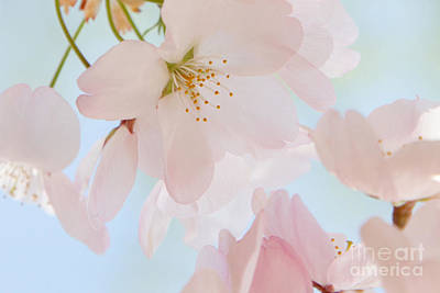 Photograph - Cherry Blossoms 3 by Chris Scroggins