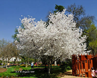 Photograph - Cherry Blossoms by Allen Sheffield