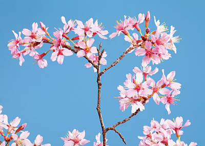 Sunlight Photograph - Cherry Blossoms And A Clear Blue Sky by Joecicak