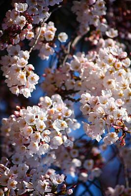 Cherry Blossoms And Blue Sky-2 Art Print