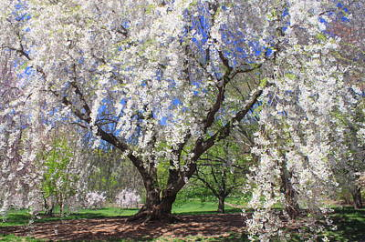Photograph - Cherry Blossoms At Arnold Arboretum by John Burk
